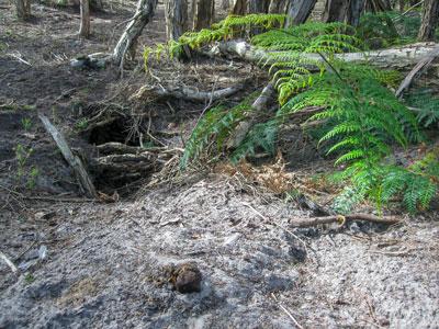 Wombat-burrow-Narawntapu