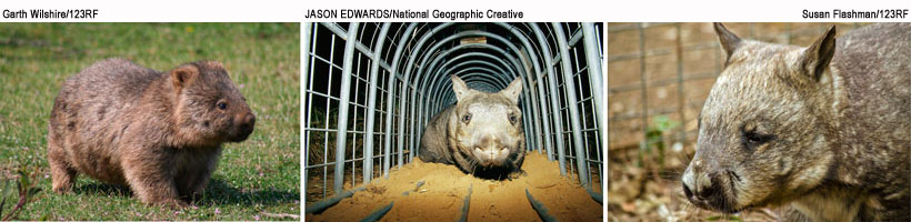 three-living-species-wombat
