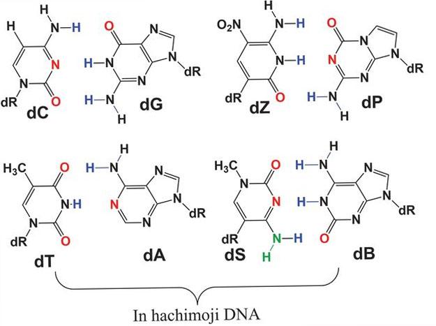 Hachimoji-DNA