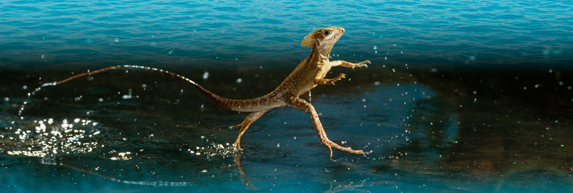 water-walking-lizard