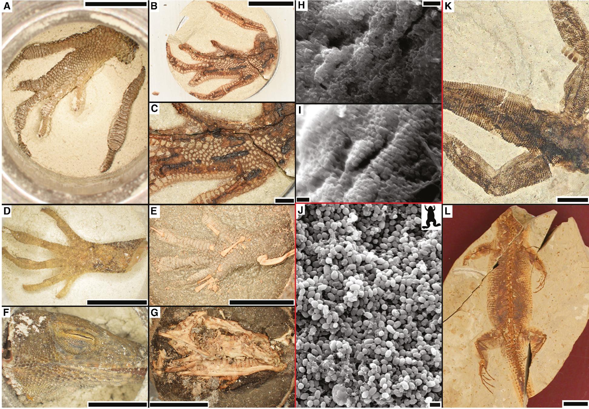 13482-lizard-before-burial