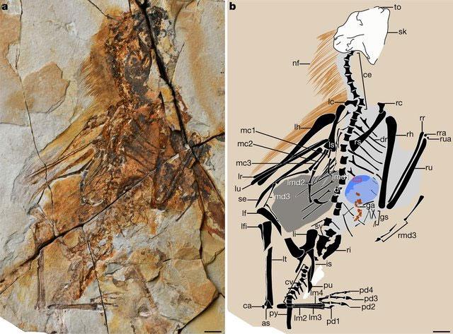 Skeletal-remains-of-Ambopteryx