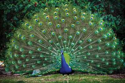 Peacock Eyes That Hypnotize Creation Com