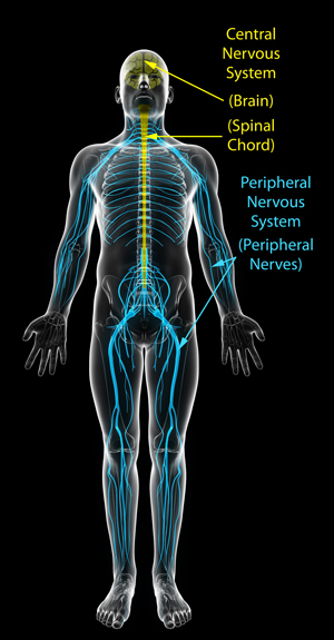 central-peripheral-nervous-systems