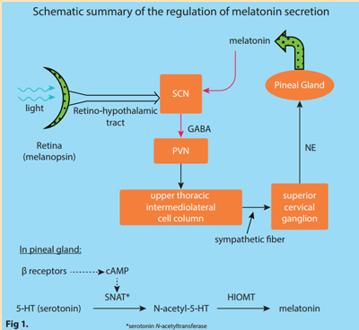 melatonin-secretion