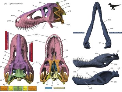 t-rex-skull