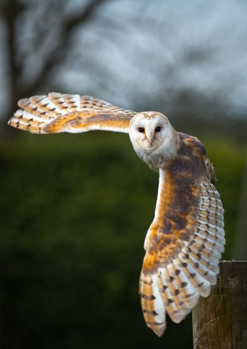 silent-owl