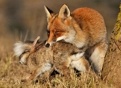 red-fox-rabbit