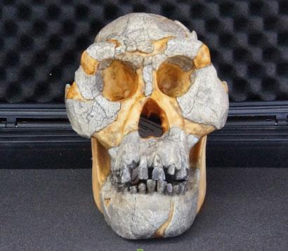 Australopithecus-afarensis-skull