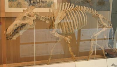 Archaeotherium-mortoni