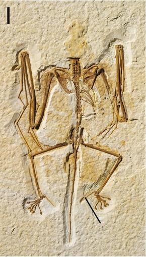 Calcar-bone