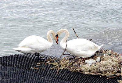 swans-with-nest-and-eggs