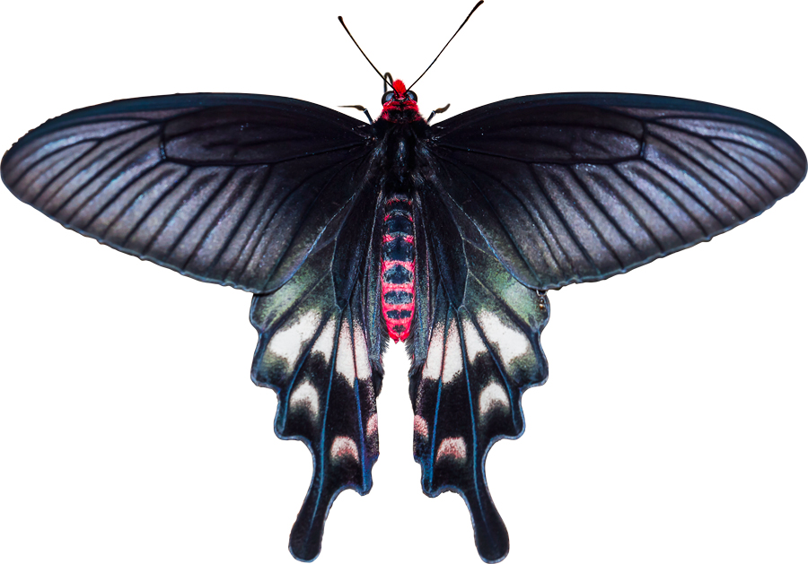 black-butterfly-wings