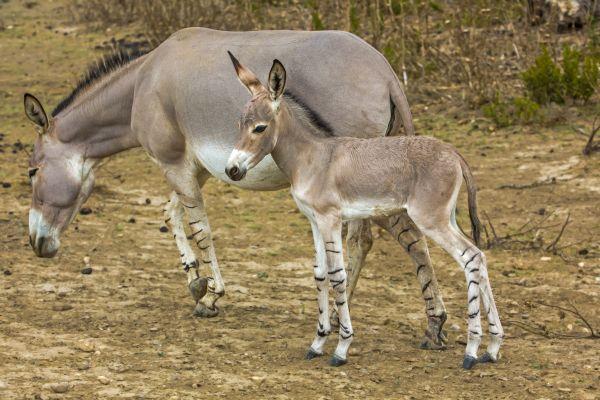 somali-wild-asses