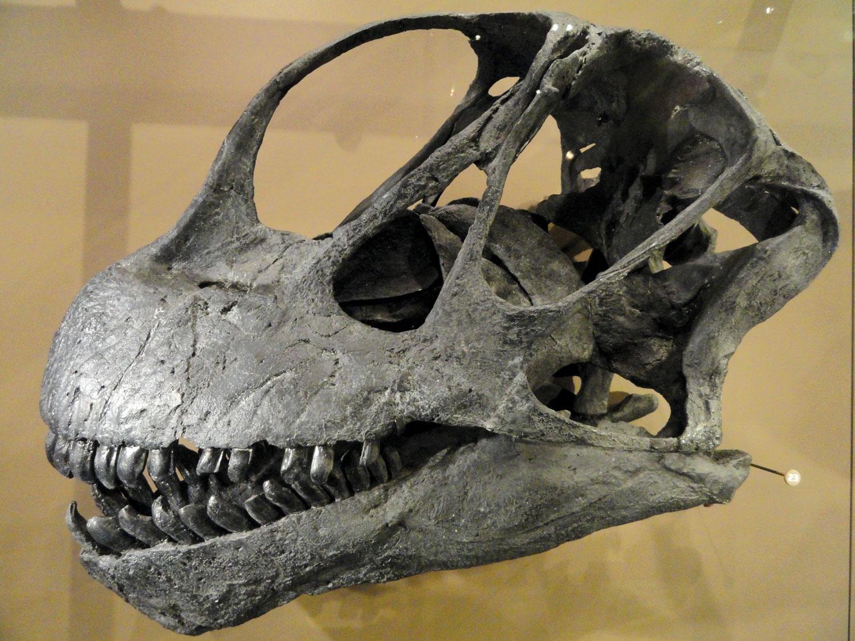 Camarasaurus-lentus-skull-cast@1500w