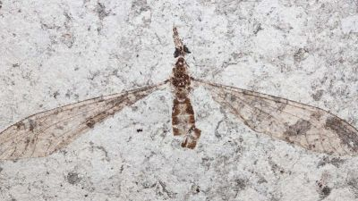fossil-fly-eyes