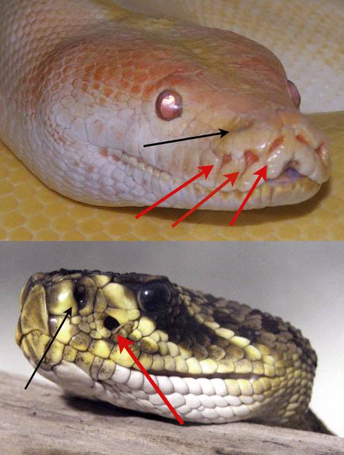 Pit-organs-pyton-rattlesnake