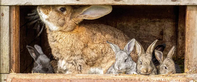 breeding-like-rabbits
