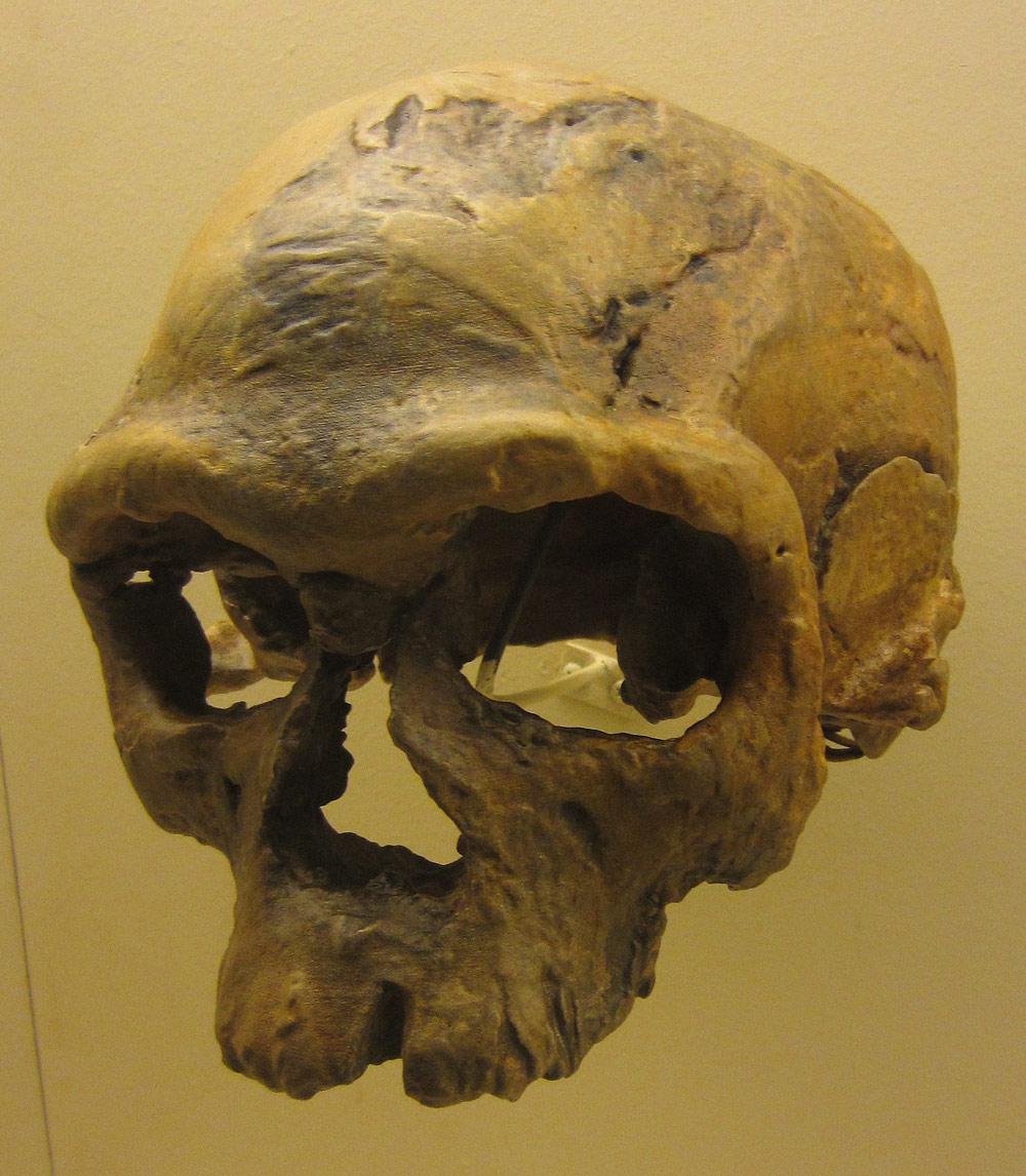 Homo-sapiens-cranium