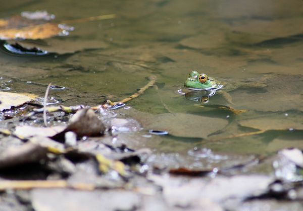 frog-in-pond