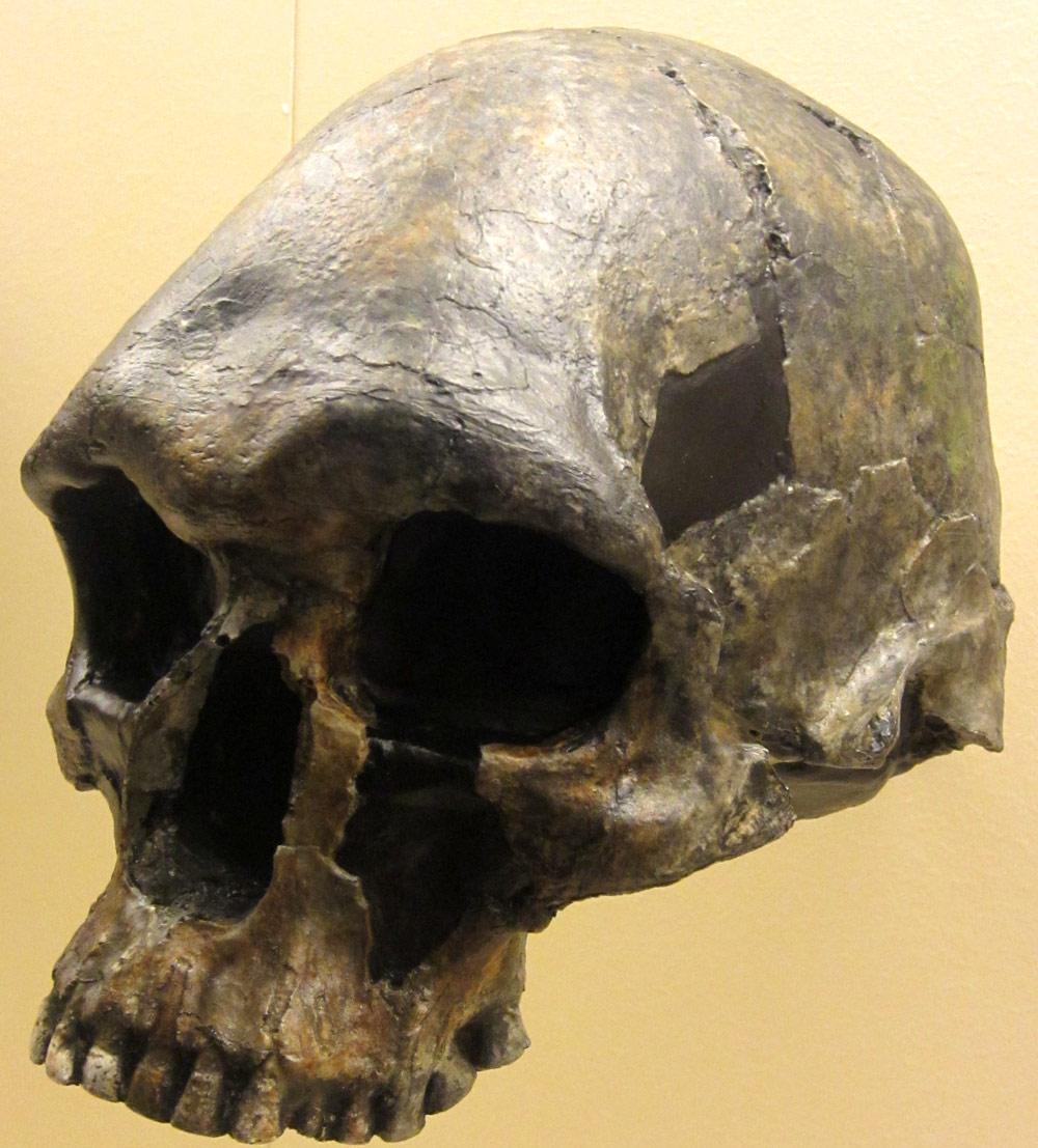 Homo-sapiens-cranium-Kow-Swamp-KS1