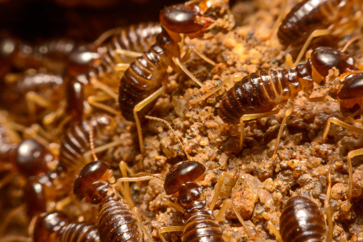 termite-workers