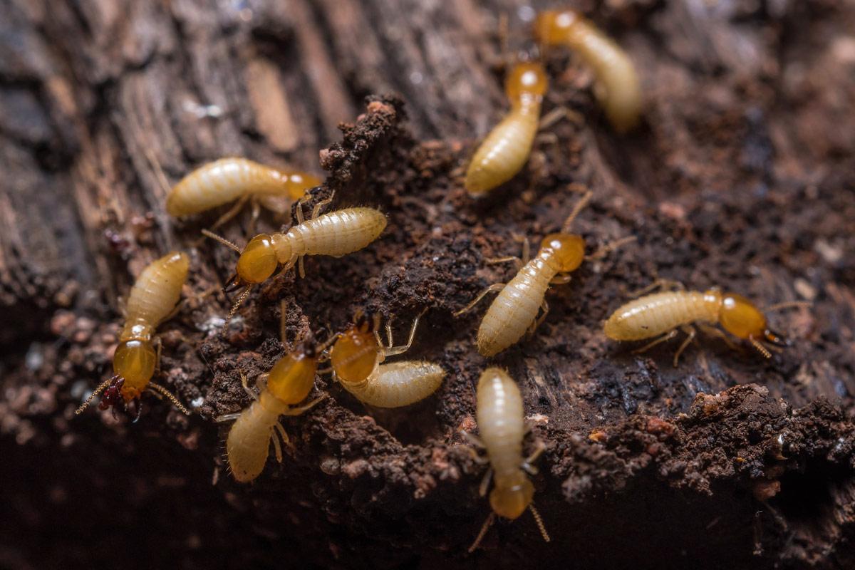 termites-feed-on-wood