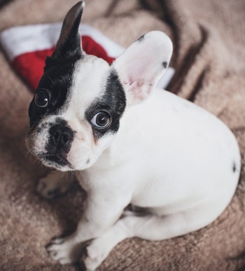 French-bulldog-puppy