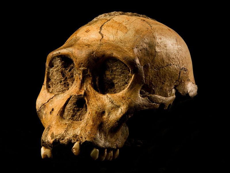 Australopithecus-sediba