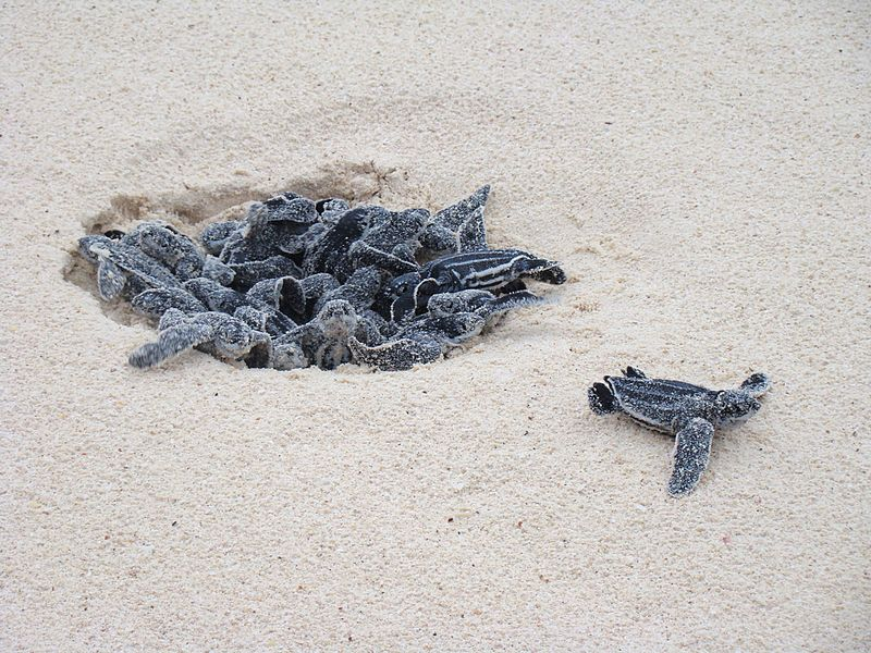 Leatherback-Turtle-eggs-hatching-at-Eagle-Beach-Aruba