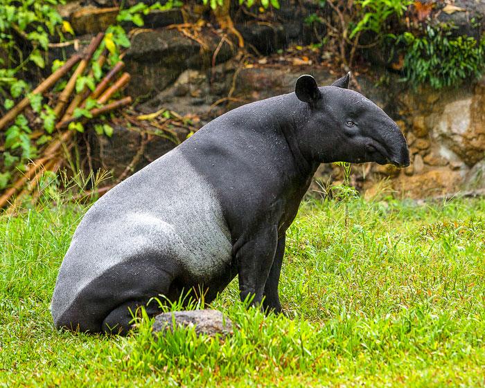 tapir-Malayan
