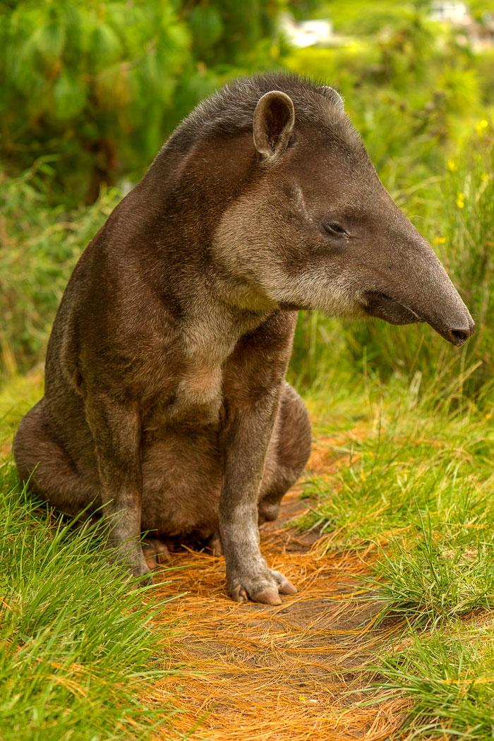 tapir-South-America