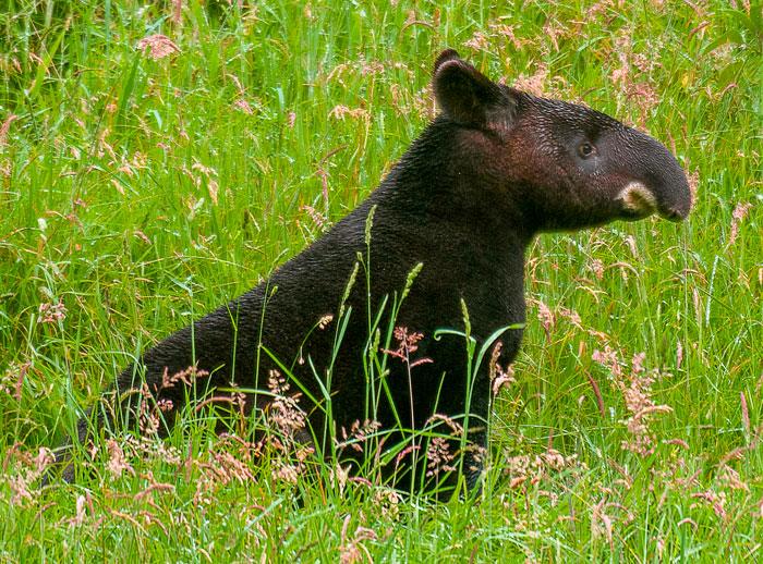woolly-tapir