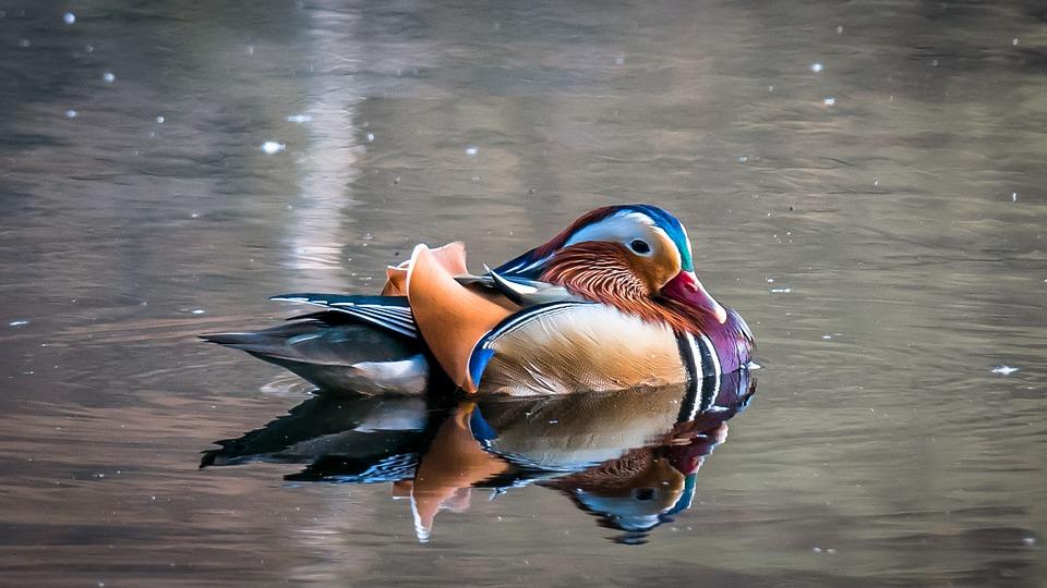 mandarin-ducks