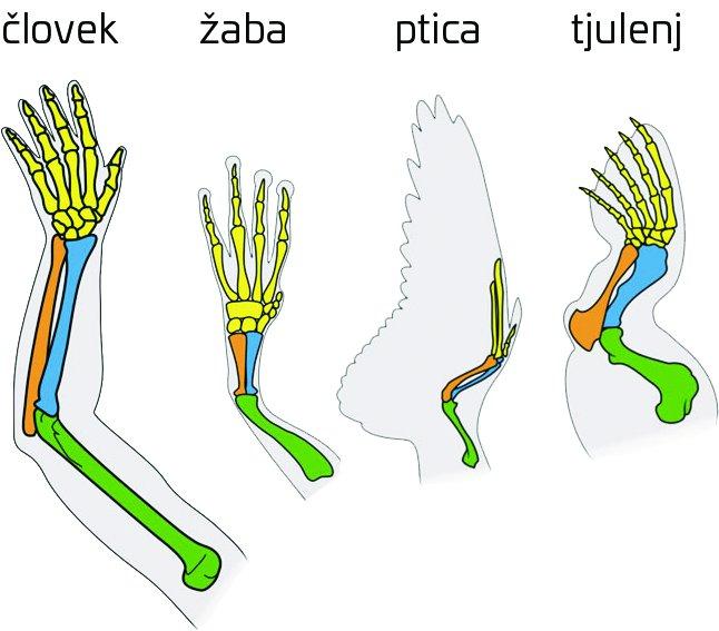 14365-limbs