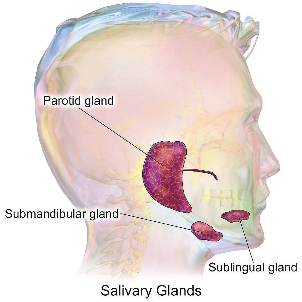 14517-salivary-glands