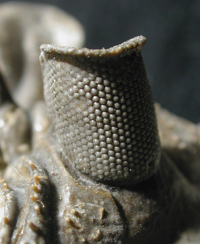 14517-trilobite-eye