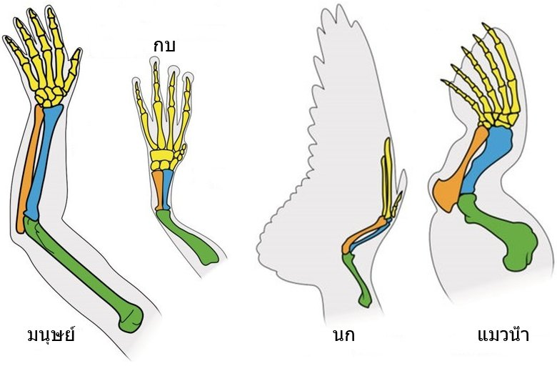 14535-forelimbs