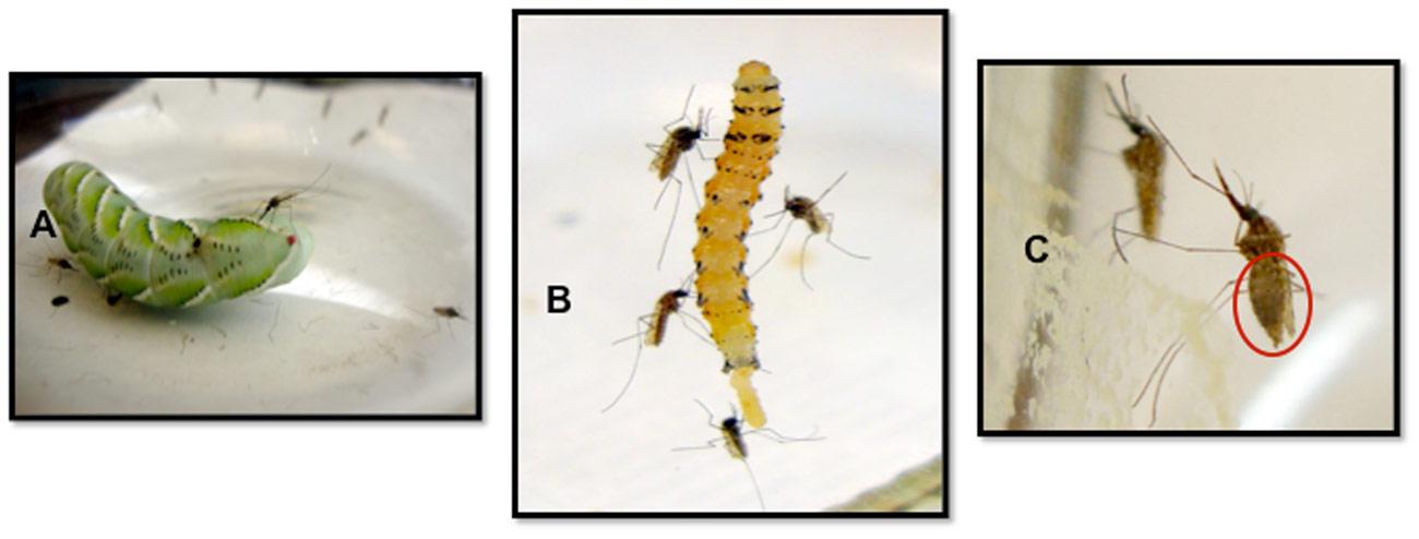 mosquito-females