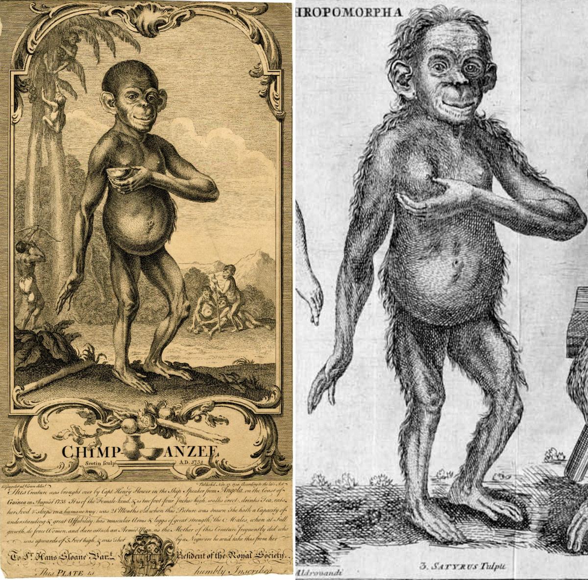 Chimpanzee-Hoppius