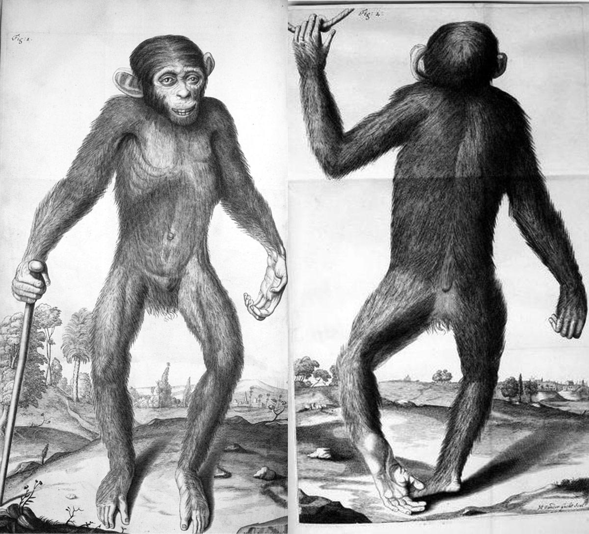 Tysons-Pygmie
