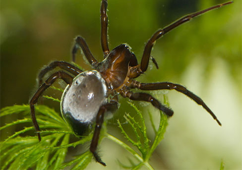 Diving-bell-spider
