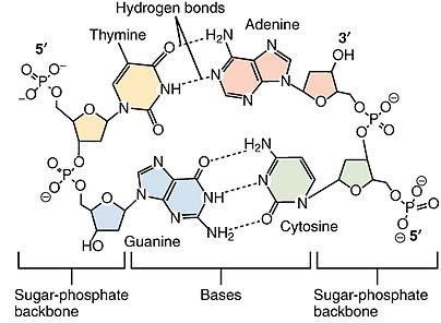 DNA-Nucleotides