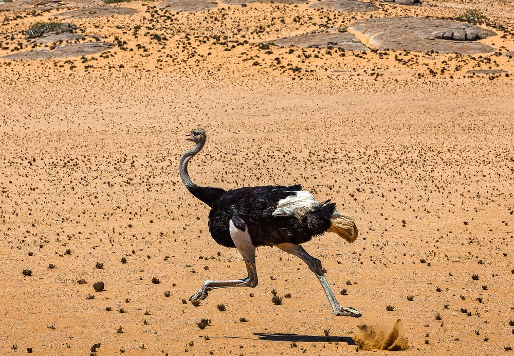 ostrich-running