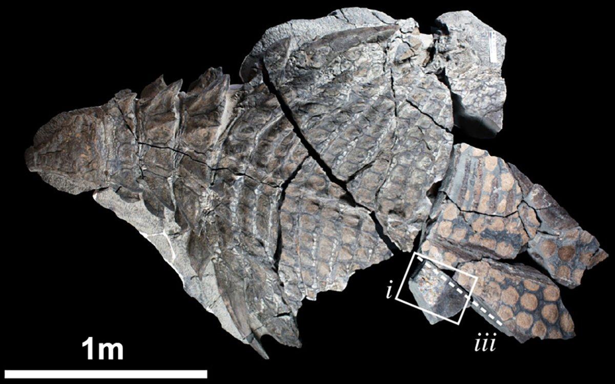 14846-nodosaur