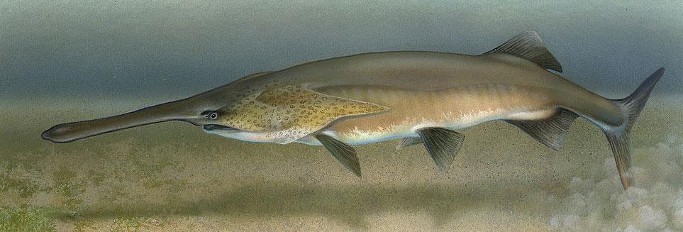 American-Paddlefish