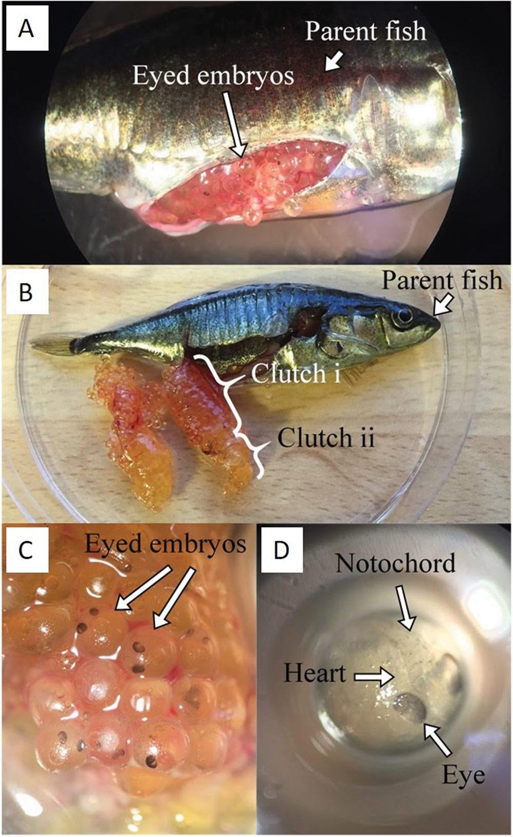 fish-giving-birth
