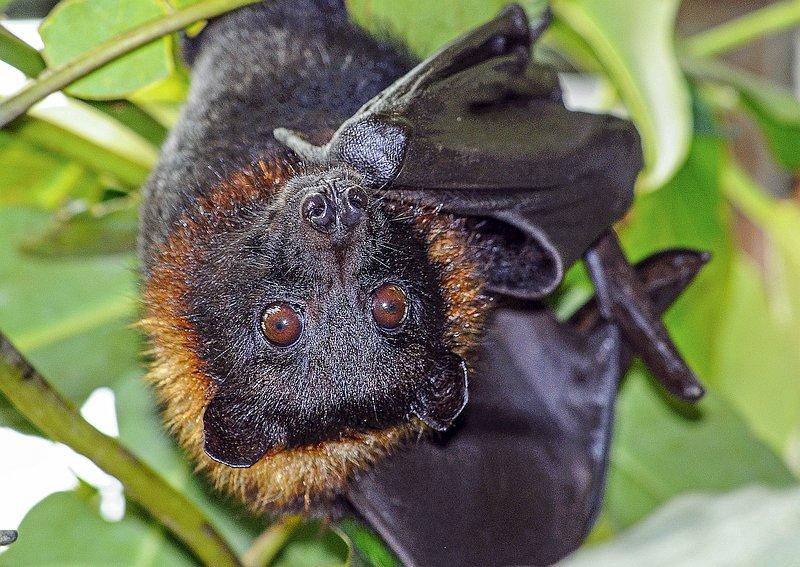 14934-fruit-bat