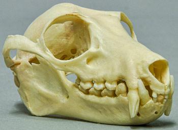 Pteropus-melanotus