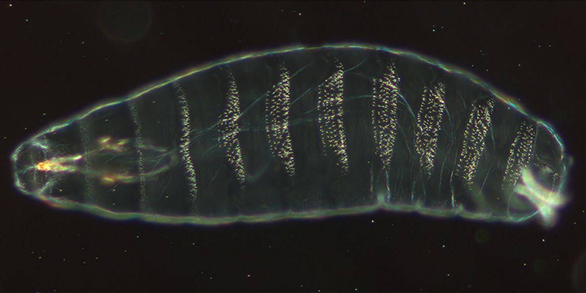 fruit-fly-embryo